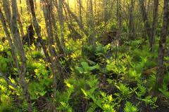 Swamp Walk (4) (Nicholas_T) Tags: trees plants nature grass forest spring pennsylvania creativecommons vegetation ferns lehighvalley wetland skunkcabbage understory sedges bearswamp northamptoncounty uppermountbetheltownship bearswampcountypark