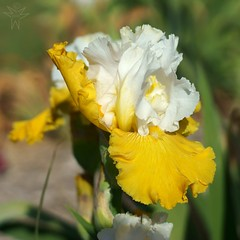 Sunrise Seduction (Shutter_Hand) Tags: iris usa naturaleza flower nature fleur flora texas sony flor jardin botanico blomma fleurdelis alpha  blume fiore secretgarden a77 iek flordelis weatherford  kukka  mineralwells botanicalpark jardinbotnico jardinsecreto parquebotnico  clarkgardens lenscraft texasgem texasjewel slta77v sonyalphaa77 miguelmendozamuoz sunriseseduction