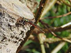 Damselfly (SimonTHGolfer) Tags: macro animal bug insect dragonfly sony cybershot damselfly dsc odonata h200