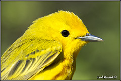 Yellow Warbler (130515-0251) (Earl Reinink) Tags: portrait ontario canada art nature point photography nikon flickr photographer image images earl flikr warbler park provincial d4 yellowwarbler portrait art bird nikon point rock photography images nature lens ontario canada ontbirds fine earl photographer lenses reinink reinink d4 niagara