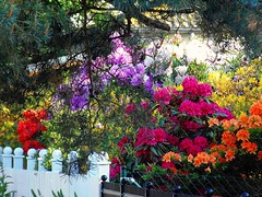 Vielfalt der Farben bei Rhododendron / Happy Friday Fence !!! (swetlanahasenjäger) Tags: supershot masterphotos lovelyflickr coth5 blinkagain 5wonderwall thegoldenachievement goldenachievement