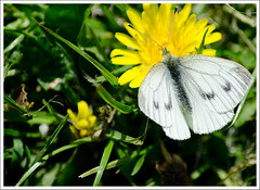 Insect Butterfly Small White Whisby (1) (PenneyBR) Tags: elitebugs