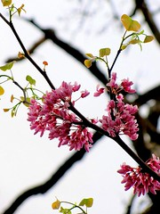 Sprigs of Redbud (David Hoffman '41) Tags: pink red white tree nature contrast virginia branches cluster blossoms twigs redbud tistheseason sprigs charlottecourthouse charlottecounty
