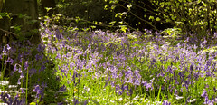 Bluebells Basking in Evening Sunlight (Photo Gal 2009) Tags: forest bristol forestry nationaltrust gundog leighwoods forestrycommission retrievedog britishwoodland youngdog bristolwoods may2013 nationaltrustbristol boycocker