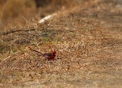 Cardenal (Greitas) Tags: birds cu aves unam reservaecolgica cardinaliscardinalis jardnbotnico cardenal cardinalis ciudaduniversitaria pyrocephalus angelanavabolaos