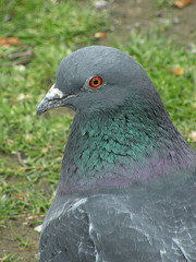 Pigeon colours (BIKEPILOT) Tags: colour bird nature animal canal pigeon wildlife berkshire newbury plumage kennetavoncanal