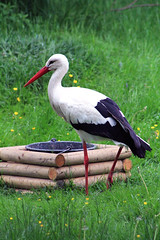 Storch (-Julia_) Tags: white black green nature beautiful grass animal canon outside photography eos best photograph stork storch 1100d