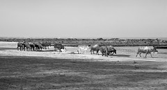 Indian herd spend a day at Seaside (arfabita) Tags: sea brown india black color colour beach sunshine horizontal landscape bay milk seaside sand surf shadows cattle indian earlymorning horns peaceful sunny bluesky resort shade bombay destination typical tones herd tranquil touristspot horned arabiansea buffallo herdsman smoothskin manori tideisout