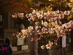 P1090403_ (worldbreeze) Tags: japan cherry spring kyoto blossoms    sakura