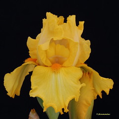 Bearded iris, unknown variety, yellow (jlcummins - Washington State) Tags: iris usa flower washington washingtonstate beardediris flowergarden