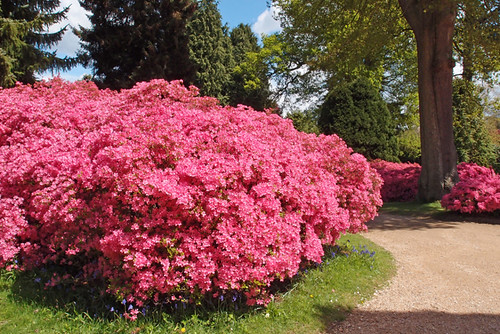Azaleas - Sheffield Park : May 2013