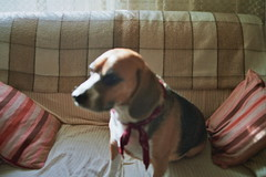 Teddy II (Bardalleiro) Tags: dog pet film beagle yashica