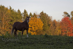 PumbaWithFallColor9022 (sjc from vt) Tags: horse vermont 24105mmf4lisusm 60d