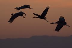 Sandhill Crane (Jon Sieker) Tags: california northerncalifornia birding sandhillcrane sanjoaquincounty woodbridgeecologicalreserve canon5dmkiii lodisandhillcranefestival