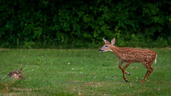 BuckFawn2 (jmishefske) Tags: d800e greenfield wildlife buck whitetail westallis nikon wisconsin county july park 2016 fawn deer milwaukee