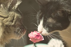 Can you smell it? (sonia.sanre) Tags: amor love animals beautiful cute olor smell rosa rose flor flower gatos cats