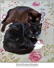 Guinness Grooming Luna (Sherwood Harrington) Tags: pets cats guinness luna sableburmese tuxedo domesticshorthair