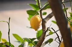 MADURO (Santiago Mederos) Tags: lemon limon sol arbor limonero jugo fruta