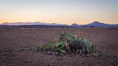 Welwitschia mirabilis (loveexploring) Tags: africa brandberg kaokoveld kaokovelddesert namibdesert namibia welwitschia welwitschiamirabilis welwitschiaceae coastaldesert cone desertplant endemicplant femalecone plant rareplant