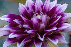 Dahlia (Alejandro Ortiz III) Tags: 6d alejandroortiziii alex alexortiz allrightsreserved brooklyn canon canoneos copyright2016 copyright2016alejandroortiziii digital eos lightroom lightroom3 newjersey newyork newyorkcity rahway shbnggrth dahlia ef100mmf28macrousm flower flowers macro