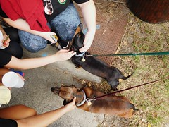 love to be petted (Just Back) Tags: dogs hunde dachshund weeniedog fur tail back snout leash fun friendly rosewood columbia sc saturday paws sweet love