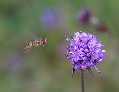 Hover Fly (patwyse152) Tags: insect nature kildare ireland canon macro devils bit scabious