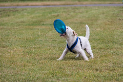 Wiggo and his frisbee (ghostwheel_in_shadow) Tags: archbishopspark england englandandwales europe frisbee lambeth london unitedkingdom wiggo childhood dog jackrussell mammal parsonrussell terrier toy vertebrate
