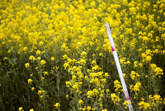 L1008484c (haru__q) Tags: leica m8 leitz summicron field mustard 菜の花 rod 棒