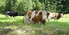 Dairy cows (seanofselby) Tags: fleckvieh freisan cows dairy herd poland