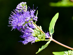 Bartblume (Caryopteris) (Kat-i) Tags: bartblume caryopteris blau blue lippenblütler lamiaceae strauch zierstrauch garten garden nikon1v1 kati katharina 2016