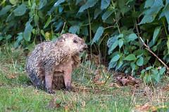 Groundhog (drbradkent) Tags: groundhog woodchuck