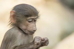 Mantelbaviaan - Emmen (Jan de Neijs Photography) Tags: mantelbaviaan baboon baviaan hamadryasbaboon aap tamron tamron150600 zoo dierentuin dierenparkemmen