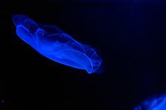 jellyfish (z takao) Tags: aquarium jellyfish nikon d750  blue 2470mm f28