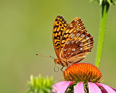 Ready To Launch (Slow Turning) Tags: speyeriacybele greatspangledfritillary butterfly insect wings proboscis flower purpleconeflower echinacea summer southernontario