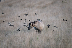 Konik and  starlings (Bart Hardorff) Tags: 2016 barthardorff biesbosch thenetherlands werkendam september noordbrabant nederland konikpaard equusferuscaballus spreeuw sturnusvulgaris noordwaard starling konik horse paard