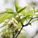 Amerikanische Pimpernuss (Staphylea trifolia)