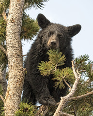 Up a Tree (Patty Bauchman) Tags: blackbear blackbearcub yellowstonepark dunravenpass whitebarkpine pinenuts nature wildlife bear