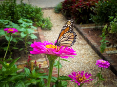 Investigating (Hannah Underhill) Tags: flowers gardening art wildlife memphis tennessee summer bug insect monarch wings closeup natural nature thedixongalleryandgardens