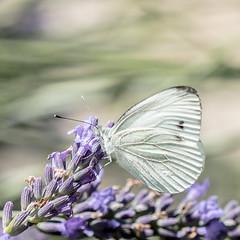 Souvenir d't (S@ndrine Nel) Tags: papillon butterfly lavande lavender nature wildlife nelsandrine piride