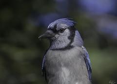 Blue Jay_2331_In Explore (Kerry. Williams - Amateur) Tags: bluejay borealforrest birds manitoba lakewinnipeg canada