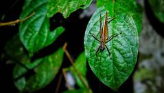 Tambopata National Reserve, Peru (ser_is_snarkish) Tags: peru southamerica tambopata river jungle insect fauna