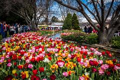 _MG_6523.jpg (SydneyLens) Tags: australia bowral tulip flowers tulipfestival nsw newsouthwales au