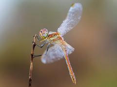 variedad de tonos (Santi BF) Tags: sympetrumfonscolombii liblula libllula dragonfly odonato odonata anisptero anisoptera