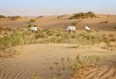 Arabian oryxes (Tigra K) Tags: dubai unitedarabemirates ae 2013 landscape nature plant wildlife