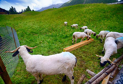 Sheep in the Swiss Alps (` Toshio ') Tags: toshio switzerland swiss swissalps europe european animals green mountains nature fujixe2 xe2 horns fence grass wool pine trees