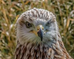 The stare (davidrhall1234) Tags: redkite rspb raptor birdsofprey birdsofbritain bird birds portrait feather falconry wildlife wildlifetrust world nature nikon nikond7100 stare specanimal coth5