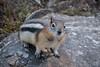 Ardilla de manto dorado (robertopastor) Tags: américa canada canadianrockiesmountain canadá fuji montañasrocosas robertopastor viaje xt2 xf1655mm ardilla de manto dorado