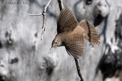 House Wren (Gregory Lis) Tags: housewren troglodytesaedon yakima washingtonstate gorylis gregorylis nikond810 bird