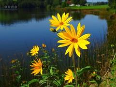 Am Schwaltenweiher - on Schwaltenpond (warata) Tags: 2016 deutschland germany sddeutschland southerngermany schwaben swabia oberschwaben upperswabia schwbischesoberland bayern allgu bayerischesallgu ostallgu alpen alps alpenvorland schwaltenweiher weiher see lake landschaft landscape pond blume blte pflanze flower bloom plant