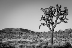 Joshua Tree (Thomas Frejek) Tags: 2016 california joshuatree joshuatreenationalpark josuapalmlilie kalifornien usa yuccabrevifolia us
